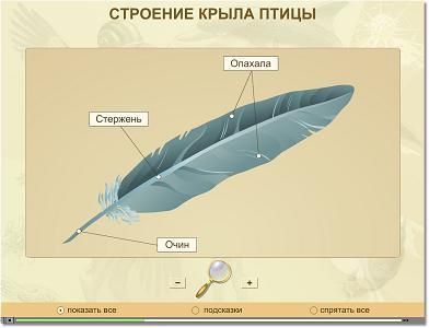 Показаны картинки по запросу Перо Птицы Строение.