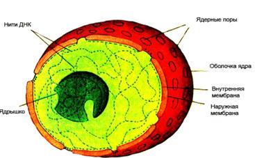 Биологии по теме строение клетки