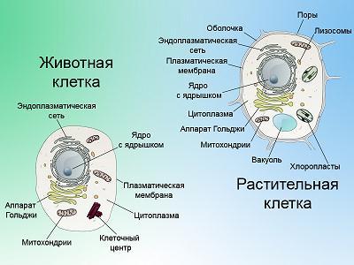 и животной клетки